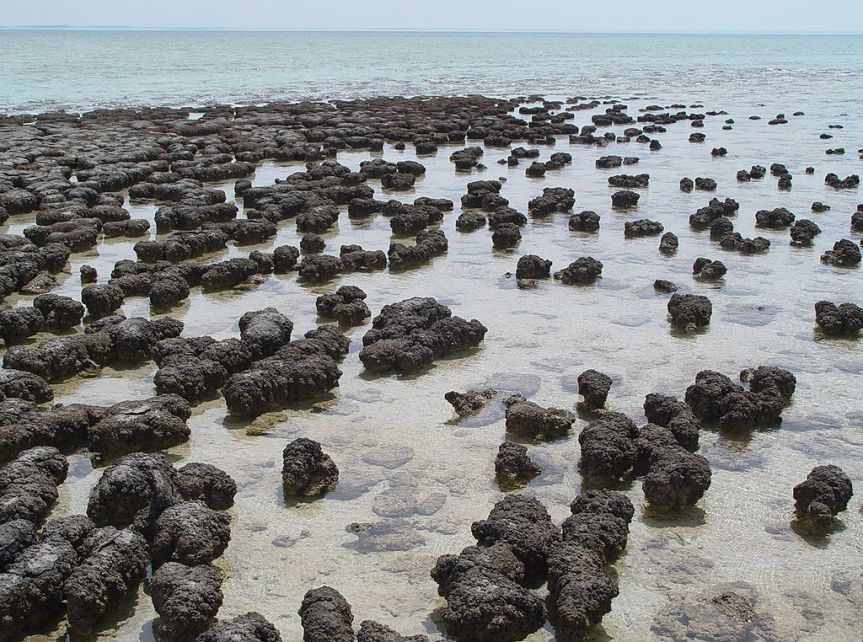 Stromatolites in Sharkbay Australia - Wiki Commons